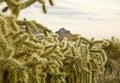 Jumping Cholla (Cylindropuntia fulgida) Cactus Royalty Free Stock Image