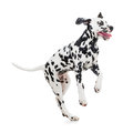 Jumping dalmatian dog isolated on white Royalty Free Stock Photos
