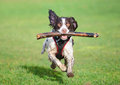 Jumping dog running at speed with stick Royalty Free Stock Photos