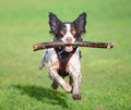 Jumping dog running wet at speed with stick Royalty Free Stock Images