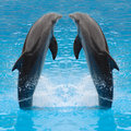 Jumping dolphin twins Stock Photo