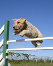 Jumping fox terrier Stock Images