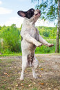 Jumping french bulldog for a stick Royalty Free Stock Images