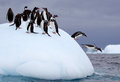 Jumping gentoo penguins penguin into water from iceberg Stock Image