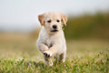 Jumping golden retriever puppy Royalty Free Stock Photo