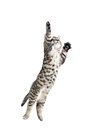Jumping gray tabby cat isolated on white Royalty Free Stock Images