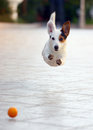 Jumping jack russell terrier for thrown ball aport Royalty Free Stock Photos