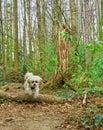 stock image of  Jumping maltese shih tzu mixed dog