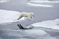 Jumping polar bear Royalty Free Stock Photos