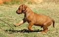 Jumping puppy Стоковая Фотография