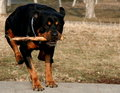 Jumping Rottweiler Stock Photos
