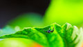 Jumping spider closeup of spide hang under green leaf Stock Photo