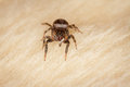 Jumping spider a dark on a wool texture Royalty Free Stock Photo