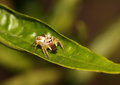 Jumping spider feeding on a dead insect. Royalty Free Stock Photo