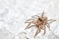 Jumping spider female plexippus petersi on cracked surface Stock Photography