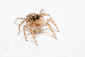 Jumping spider female plexippus petersi on white floor the Stock Image