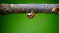 Jumping spider front small hiding under the large branches wide screen Royalty Free Stock Photography