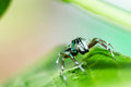 Jumping spider in green nature Royalty Free Stock Photography