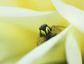 Jumping spider lurking in yellow flower Royalty Free Stock Photo