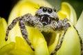 Jumping Spider Macro Royalty Free Stock Photo