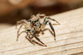 Jumping spider male plexippus petersi on wood Stock Image