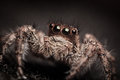 Jumping spider multiple eyes of a Royalty Free Stock Photos