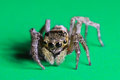 Jumping spider a portrait of a Royalty Free Stock Photos