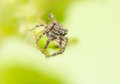 Jumping spider sitticus pubescens beautiful little with big eyes Stock Image