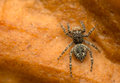Jumping spider sitticus pubescens beautiful little with big eyes Royalty Free Stock Photography
