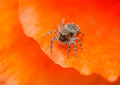Jumping spider sitticus pubescens beautiful little with big eyes Royalty Free Stock Photo