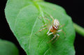 Jumping spider wait for prey Royalty Free Stock Photo