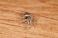 Jumping spider zebra salticus scenicus Royalty Free Stock Photography