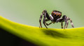 Jumping spiders. Royalty Free Stock Image