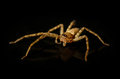 Jumping spiders on black background Royalty Free Stock Image