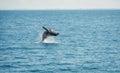 Jumping wal hervey bay australia Royalty Free Stock Images