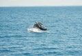 Jumping wal hervey bay australia Royalty Free Stock Image