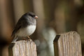 Junco perched on a fencepost in the morning Royalty Free Stock Photography