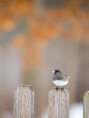 Junco perched on a fencepost in winter Stock Photography