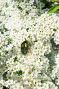 June bug in flowers Royalty Free Stock Photo