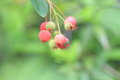 Juneberry amelanchier canadensis in japan Royalty Free Stock Image