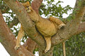 Junger männlicher lion resting in einem baum nach einer großen mahlzeit Lizenzfreie Stockfotografie