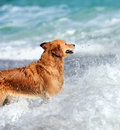 Junges golden retriever Stockbild