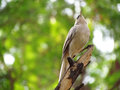 Jungle babbler bird majestic perched a looking on a branch as if the king of the forest with green blurred background of the Royalty Free Stock Images
