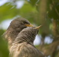 Jungle babbler a pair of lost in each other Royalty Free Stock Photography