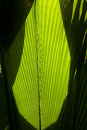 In the jungle big palm leaves close up Royalty Free Stock Photo