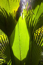 In the jungle big palm leaves close up Royalty Free Stock Image
