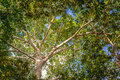 Jungle canopy looking up at the of the in the amazon rain forest near iquitos peru Royalty Free Stock Photo