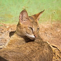 Jungle cat felis chaus in nandankanan zoo Royalty Free Stock Image