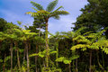 Jungle of cyathea lepifera Stock Photos