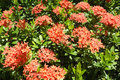 Jungle geranium red ixora coccinea flame Stock Images